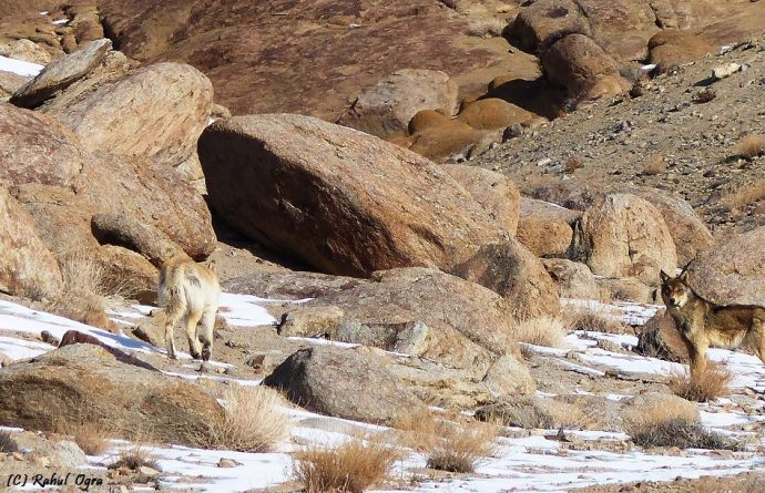 Rare wild Tibetan wolves(Canis lupus chanco),